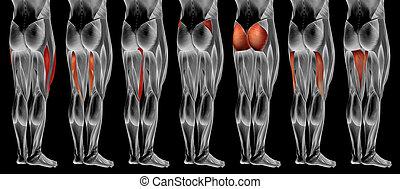 3d, höher, oder, anatomisch, koerperbau, satz, muskel, menschliche , sammlung, bein