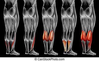 3d, oder, anatomisch, koerperbau, senken, satz, muskel, menschliche , sammlung, bein