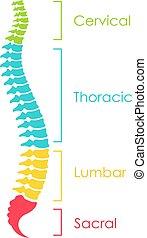abbildung, vektor, spinal, schema, schnur, anatomisch