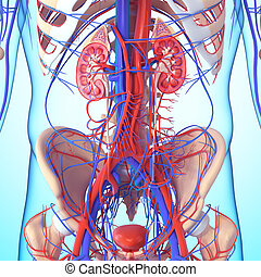 abschnitt, niere, kreuz, koerperbau