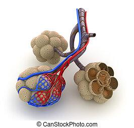 alveolen, blut, -, sauerstoff, lungen