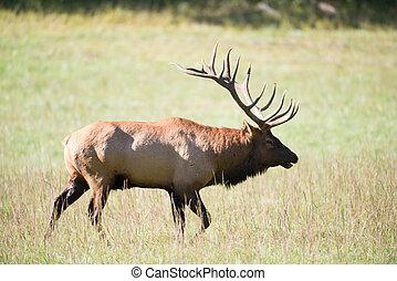 Amerikanischer Elk-Bulle