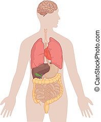 Anatomie des menschlichen Körpers - Gehirn, Lunge,