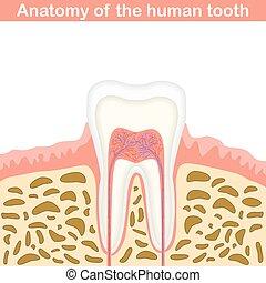 Anatomie des menschlichen Zahnes.