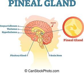 Anatomische Piniendrüse, Vektordiagramm mit menschlichem Gehirn.