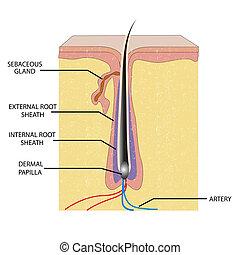 Anatomy der Haare