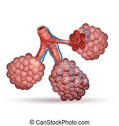 anatomy-, sauerstoff, lungen, winzig, luft, alveolen, plätze, durch, dioxide., tausche, kohlenstoff