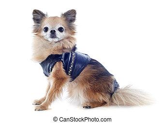 Angezogener Chihuahua
