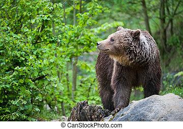 arctos), brauner, (lat., ursus, bär