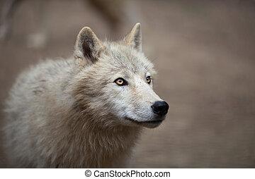 Arktischer Wolf (Canis lupus arctoaka Polarwolf oder weißer Wolf
