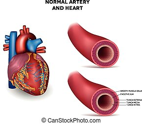 arterie, herz