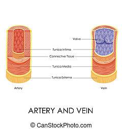 arterie, vene