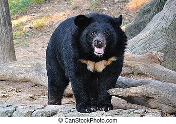 Asiatischer schwarzer Bär