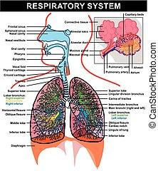 atmungs, koerperbau, diagramm, system