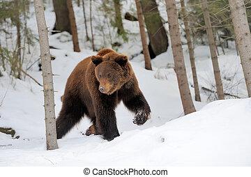 Bären im Winter.