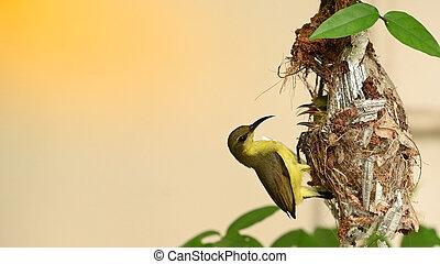baby, olive-backed, cinnyris, vogel, thailand., sunbird, yellow-bellied, jugularis, nest, sunbird