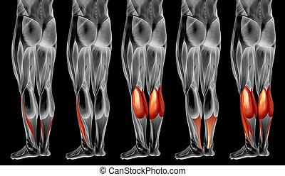 bein, menschlicher muskel, satz, anatomisch, 3d, sammlung, koerperbau, senken, oder