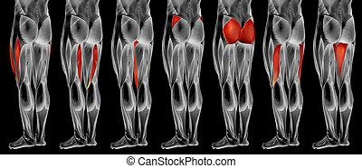 bein, menschlicher muskel, satz, anatomisch, höher, 3d, sammlung, koerperbau, oder