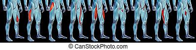 bein, schwarz, anatomisch, oder, freigestellt, menschliche , satz, sammlung, 3d, höher, muskel, koerperbau, hintergrund