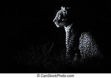 bekehrung, dunkelheit, jagen, sitzen, leopard, sbeute, künstlerisch
