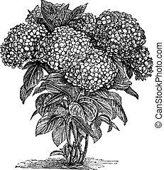 Bigleaf Horangea oder Hydrangea Makrophylla Vintage Gravur