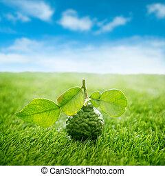 Biokaffir Kalk auf grünem Rasen mit blauem Himmel.