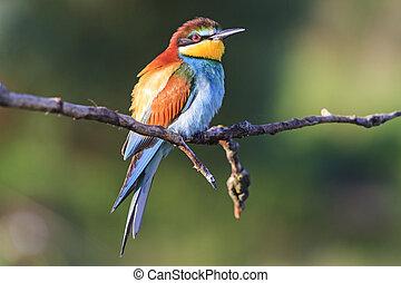 Bird - Regenbogen sitzt auf einem Ast.