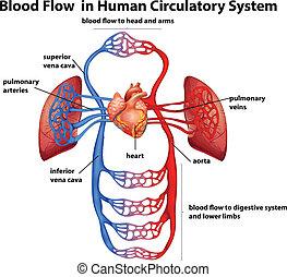 Blut fließt im menschlichen Kreislaufsystem.