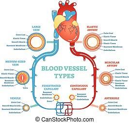 Blutgefäßtypen anatomisches Diagramm, medizinisches Schema. Kreislaufsystem. Medizinische Informationen.