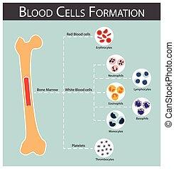 Blutzellenbildung.
