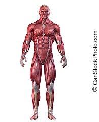 Bodybuilder-Position