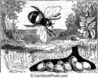 Bombus Terrestris oder Buff-schwanzige Hummel, Hummel, Nest, Vintage-Schrift.