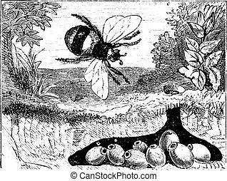 Bombus terrestris oder buff-tailed Hummel, Hummel, Nest, Vintage Gravur.