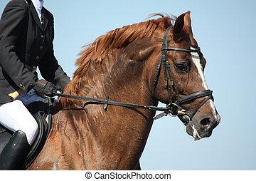 braunes pferd, weisen, während, porträt, sport