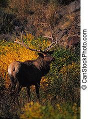 Bull Elk in Herbstfolie