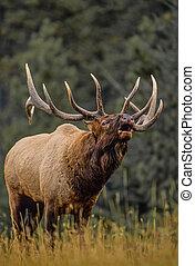 Bull Elk wimmert.