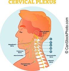 Cervical Plexus anatomische Nervendiagramm, Vektorgrafik mit Halskreuzteil.