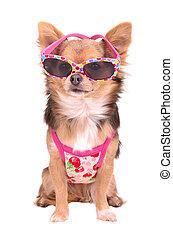 Chihuahua Hündchen mit rosa Sonnenbrille und T-Shirt.