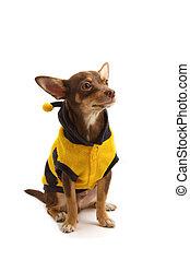 Chihuahua hat sich als Biene verkleidet.