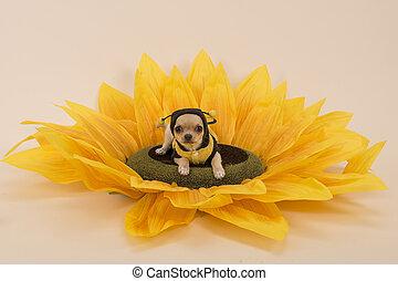 Chihuahua-Hund liegt in einer Sonnenblume, gekleidet als kleine Biene.