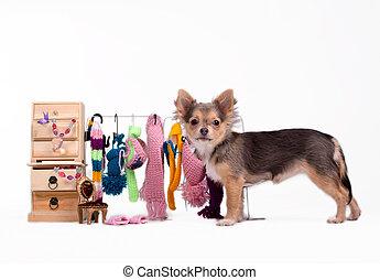 Chihuahua und seine Kleider