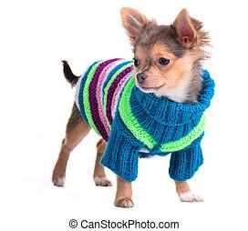 Chihuahua-Welpe, angezogen mit bunter Jacke und Hut, stehend, zur Seite
