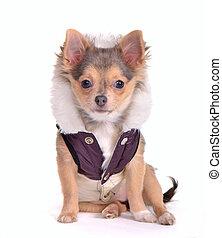 Chihuahua-Welpe in Mantel, sitzt vor weißem Hintergrund