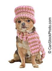 Chihuahua-Welpe mit Schal und Hut