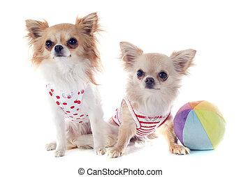 Chihuahuas.
