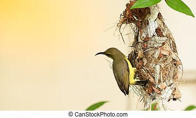 cinnyris, thailand., yellow-bellied, sunbird, olive-backed, nest, sunbird, baby, jugularis, vogel