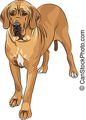 däne, groß, rehkitz, rasse, vektor, skizze, einheimischer hund
