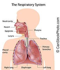 Das Atmungssystem, gekennzeichnet