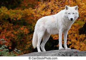 Der arktische Wolf schaut an einem Herbsttag in die Kamera