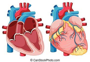 Diagramm mit menschlichen Herzen.